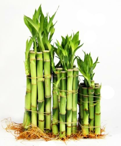 lotus bamboo care instructions