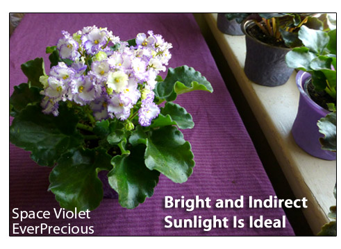best care instructions for african violets